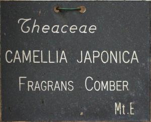 Camellia japonica 'Fragrans Comber'