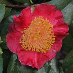 Camellia japonica 'Jitsugetsusei' (Higo)