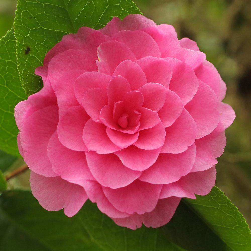Camellia x williamsii 'Judith Anderson'