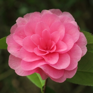 Camellia x williamsii 'Judith Anderson'