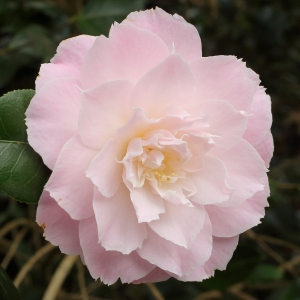 Camellia x williamsii 'Julia Hamiter'