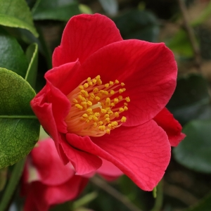 Camellia japonica 'Puck'