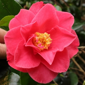 Camellia japonica 'Southern Cross'