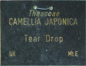 Camellia japonica 'Tear Drop'