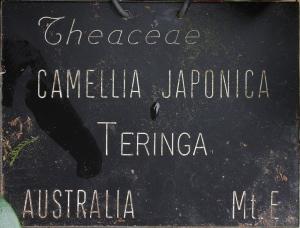 Camellia japonica 'Teringa'