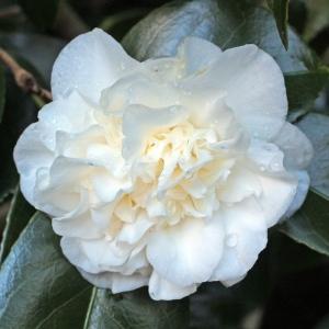 Camellia japonica 'Trewithen White'