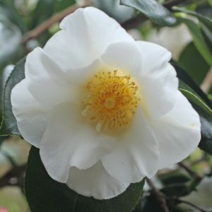 Camellia japonica 'White Lily'
