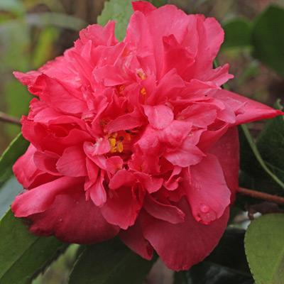 camellia-angela-cocchi