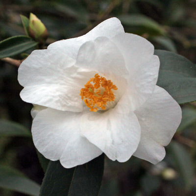 camellia-cornish-snow