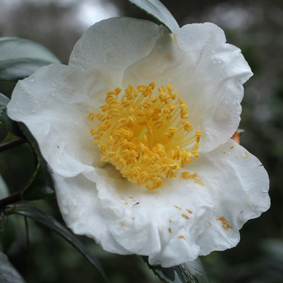 camellia-eric-baker