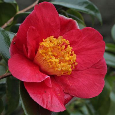 camellia-merry-christmas