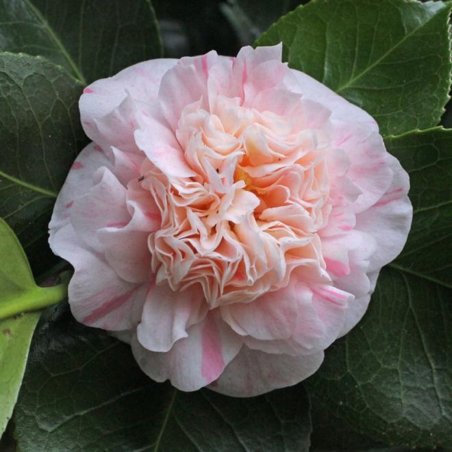 camellia-mme-de-strekaloff
