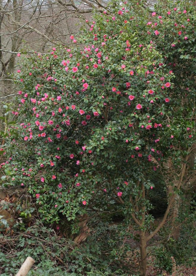 camellia-st-ewe