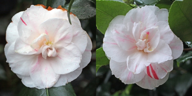 camellia-tricolor-nova