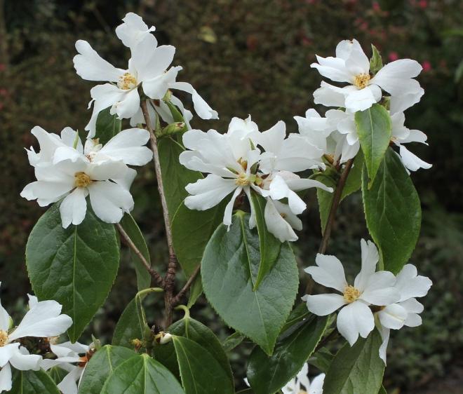 camellia-yushiensis