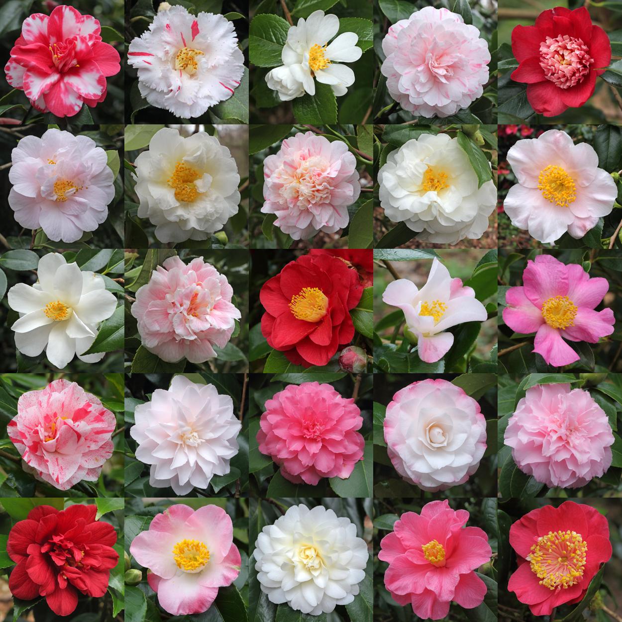 camellias-6