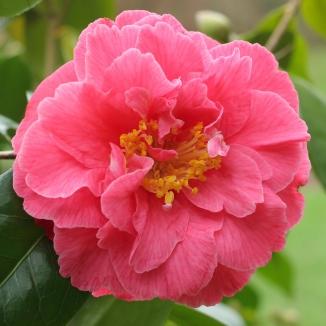 Camellia japonica 'Katie'
