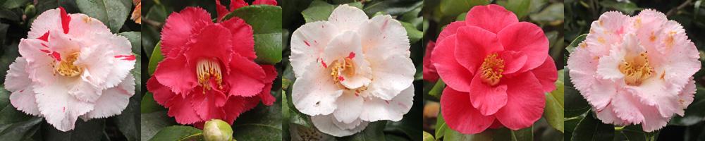Camellia-Dainty