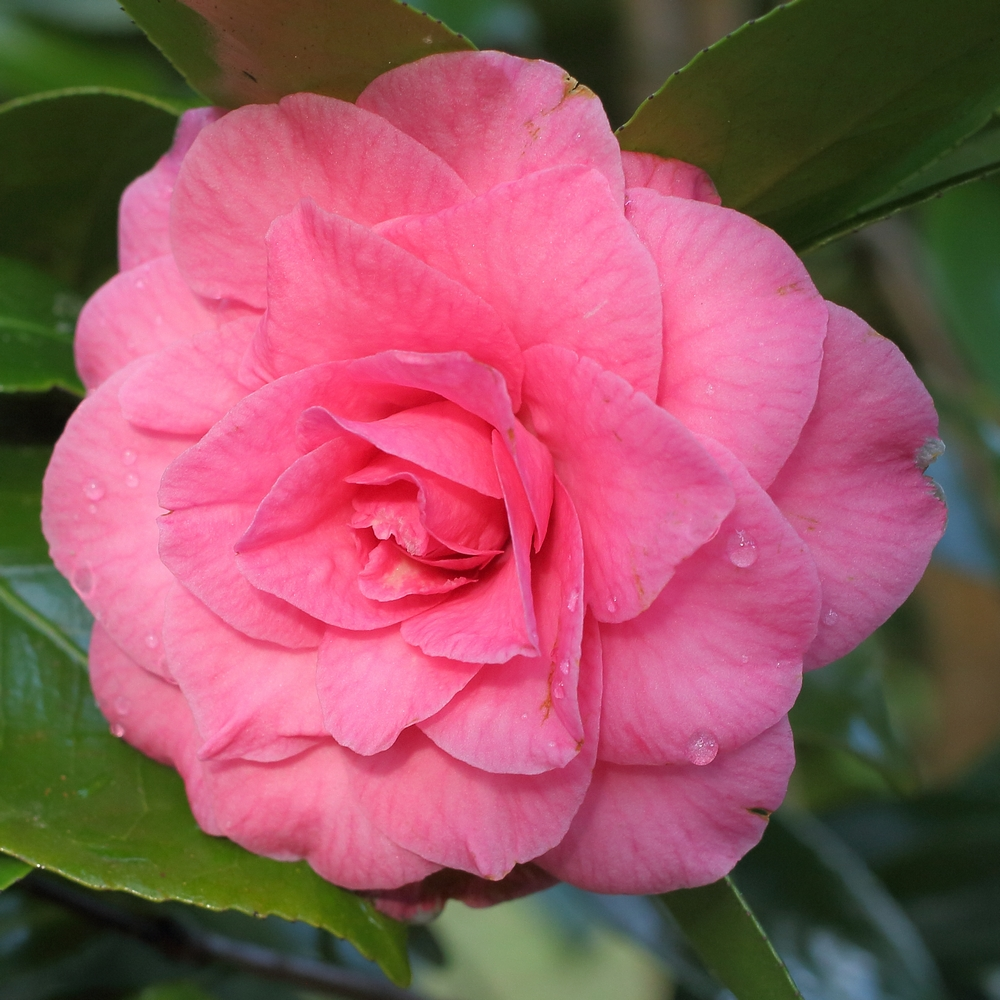 Camellia japonica 'Betty Sheffield'