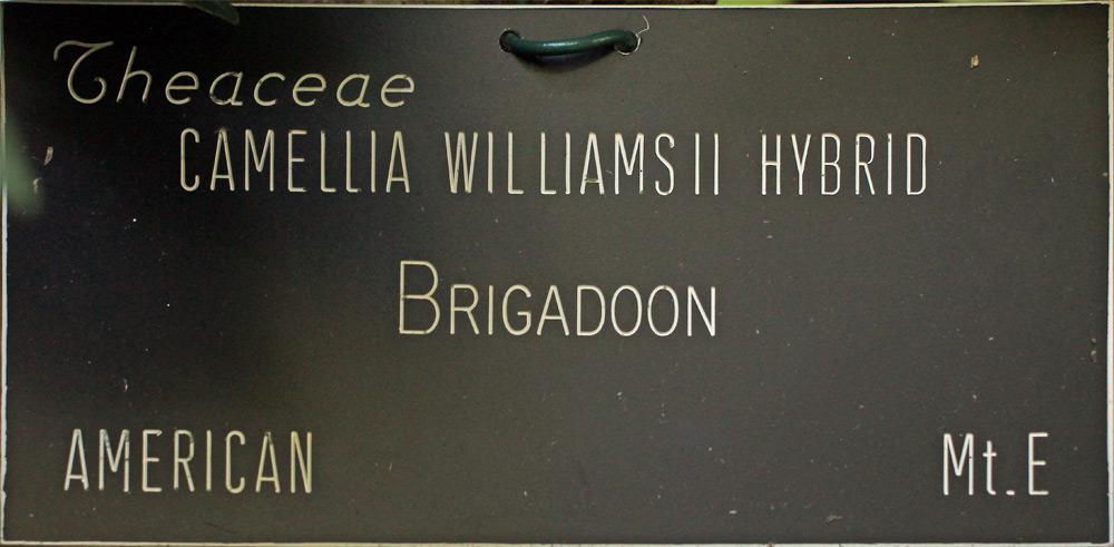 Camellia x williamsii 'Brigadoon'