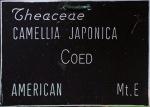Camellia japonica 'Coed'