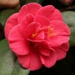 Camellia japonica 'Conspicua'