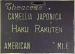 Camellia japonica 'Hakurakuten'