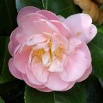Camellia japonica 'Mollie Moore Davis'