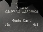 Camellia japonica 'Monte Carlo'
