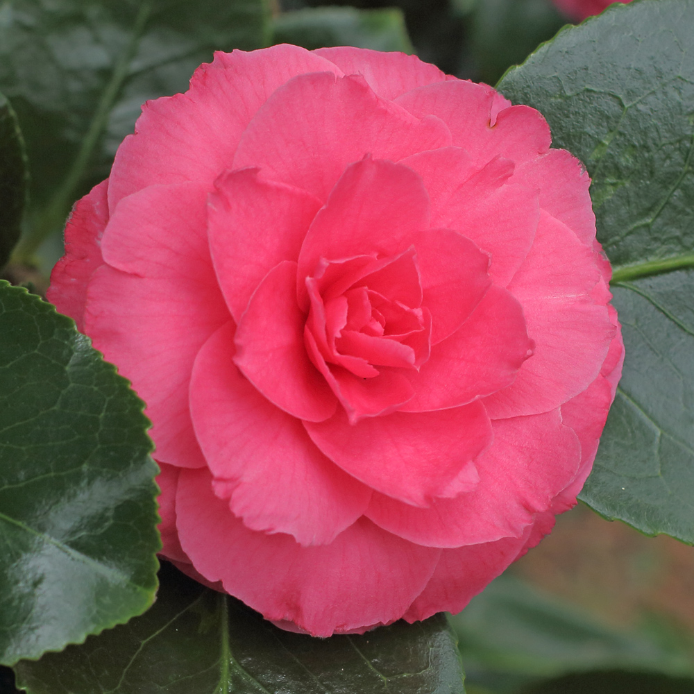 Camellia japonica 'Mrs Anne Marie Hovey'