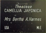 Camellia japonica 'Mrs Bertha A. Harmes'