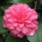 Camellia japonica 'Otome Shibori'