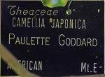 Camellia japonica 'Paulette Goddard'