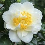 Camellia japonica 'White Empress'