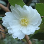 Camellia hybrid 'Winters Snowman'
