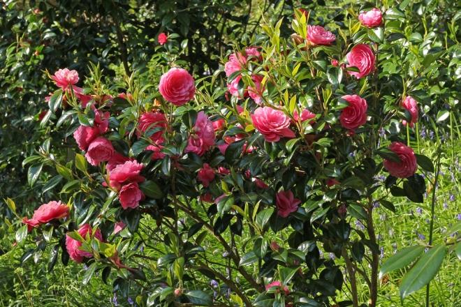 Camellia-Perfecta