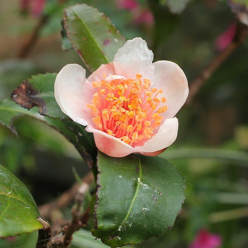 Camellia-sinensis-'Benibana-cha'