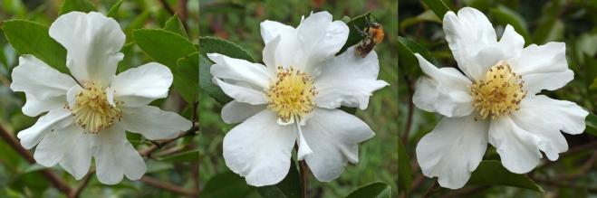 Camellia-1G-014
