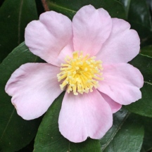 C. sasanqua 'Plantation Pink'