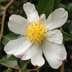 Camellia sasanqua 'Narumigata' (10-034)