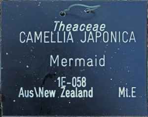 Camellia japonica 'Mermaid'
