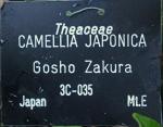 Camellia japonica 'Goshozakura' (Higo)