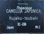 Camellia japonica 'Kujaku-tsubakii'