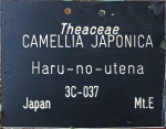Camellia japonica 'Haru-no-utena'