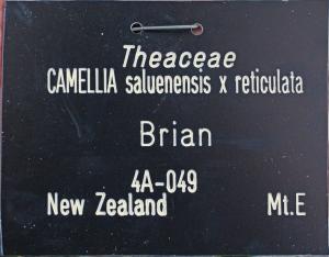 Camellia 'Brian'