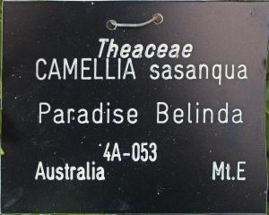Camellia sasanqua 'Paradise Belinda'