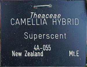 Camellia hybrid 'Superscent'
