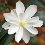 Camellia sasanqua 'Paradise Blush'