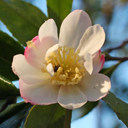 Camellia sasanqua 'Azumakagami'