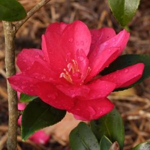 Camellia 'Christmas Rose'